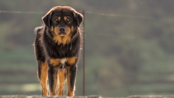 Bhotia dog