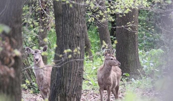 Endangered Kashmir deer, popularly known as hangul, faces extinction