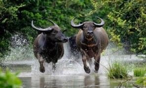 wild buffalos in indravati national park chhattisgarh