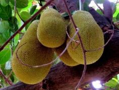 jackfruit_kaani_2018_02