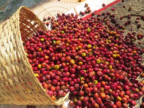 Kokum_Harvest_Savita_Uday_BuDa02.JPG