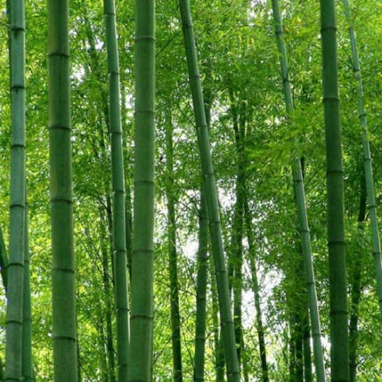Image result for Bamboosa