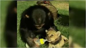 Photo of chimpanzee feeds milk to the lion's baby- After seeing the video, people said that animals also have a mother heart