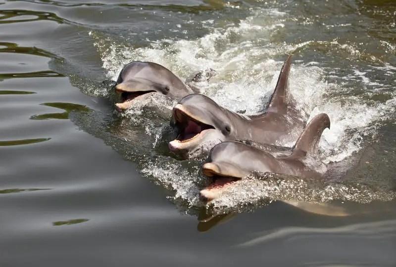 National Aquatic Animal of India