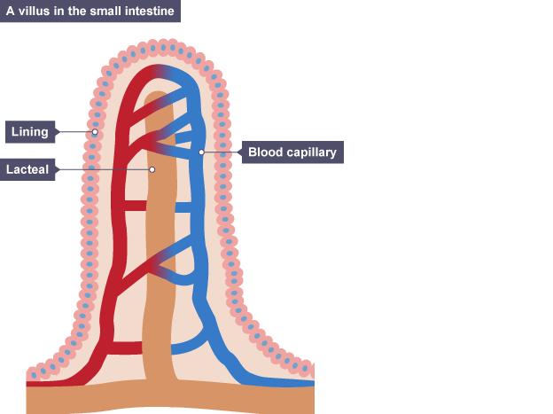 View of villus in small intestine
