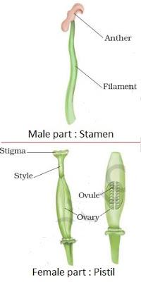 http://4.bp.blogspot.com/-IiYueVclIuA/Vdy6JFu-rtI/AAAAAAAAAGM/bmdZWr9vpMI/s400/reproductive%2Bparts%2Bof%2Bplants-ncert-class7-science.JPG