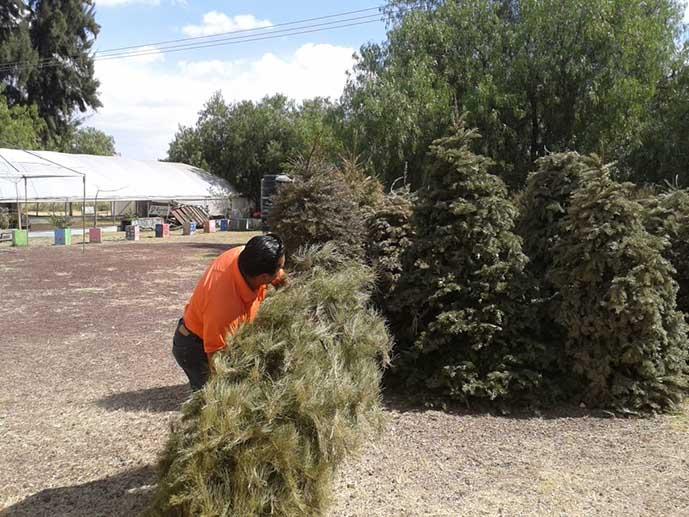 Habilitan 160 Centros De Acopio De árboles De Navidad En Todo El
