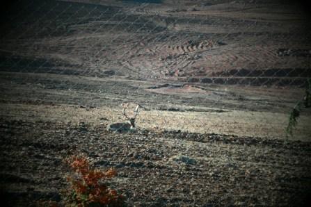 Deer - West Bekaa Lebanon