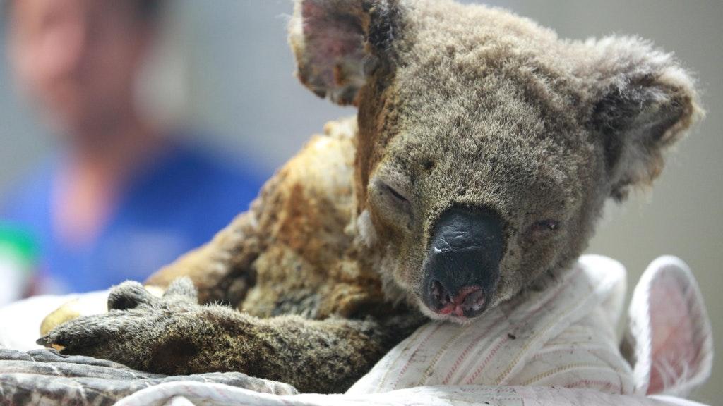 1 miljard dode dieren: onder een 'brandende rode lucht' in Australië doden apocalyptische bosbranden koala's, kangoeroes en talloze andere wezens
