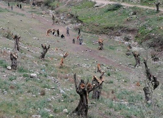 Griekenland – Boze migranten hakken 5.000 olijfbomen om