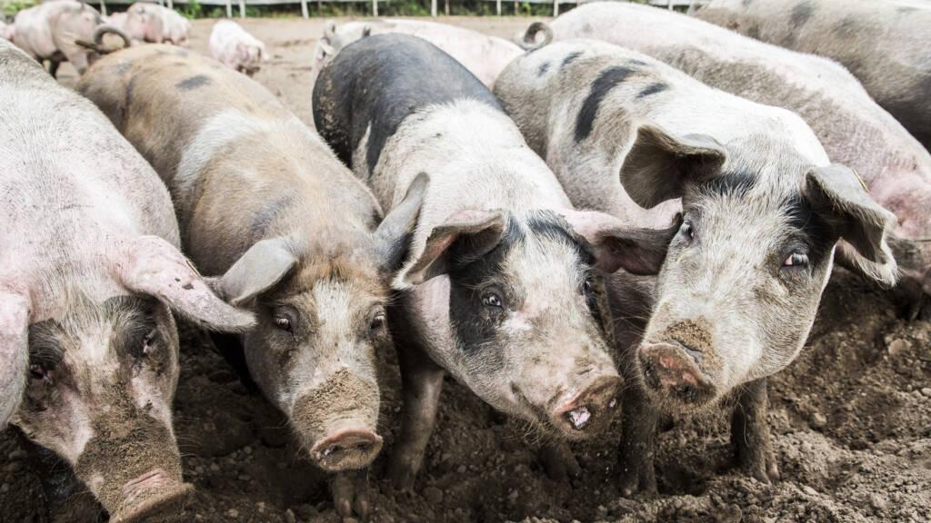 Nieuwe varkensgriep gevonden bij varkens in China met 'menselijk pandemisch potentieel'