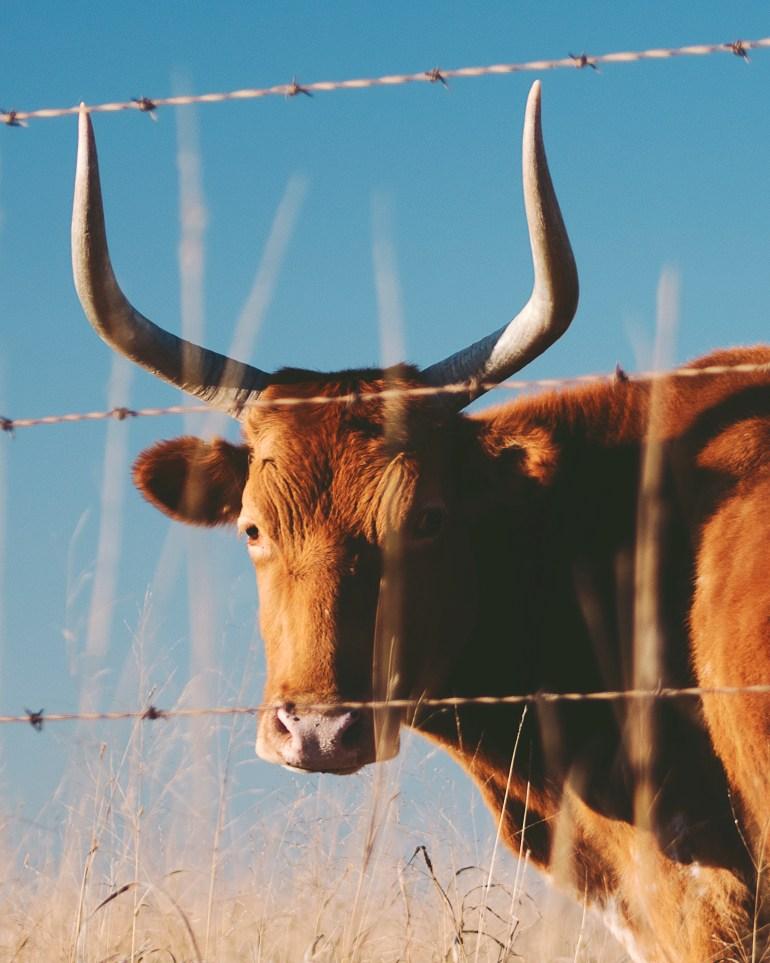 Cow 4x5