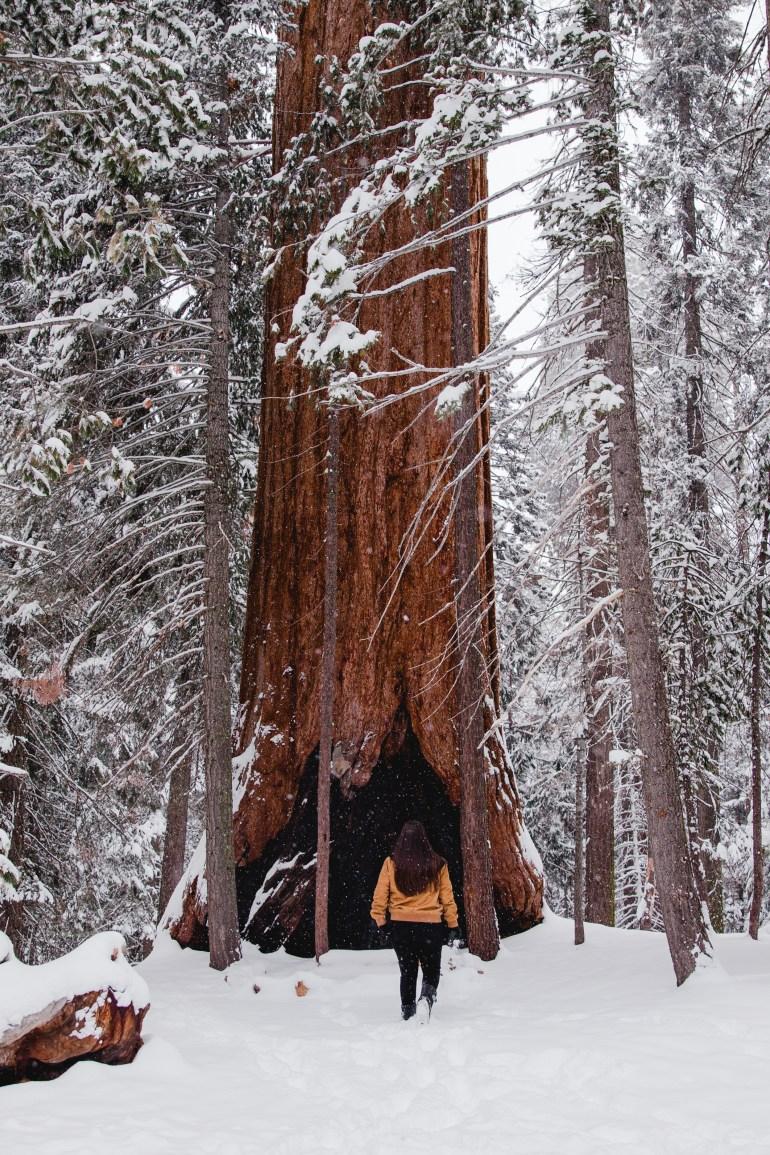 Sequoias-2