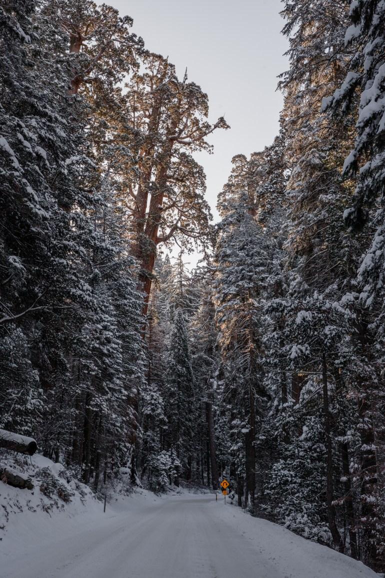 Sequoias-33