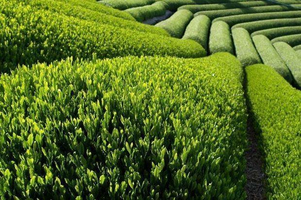 yeşil çay neye iyi gelir