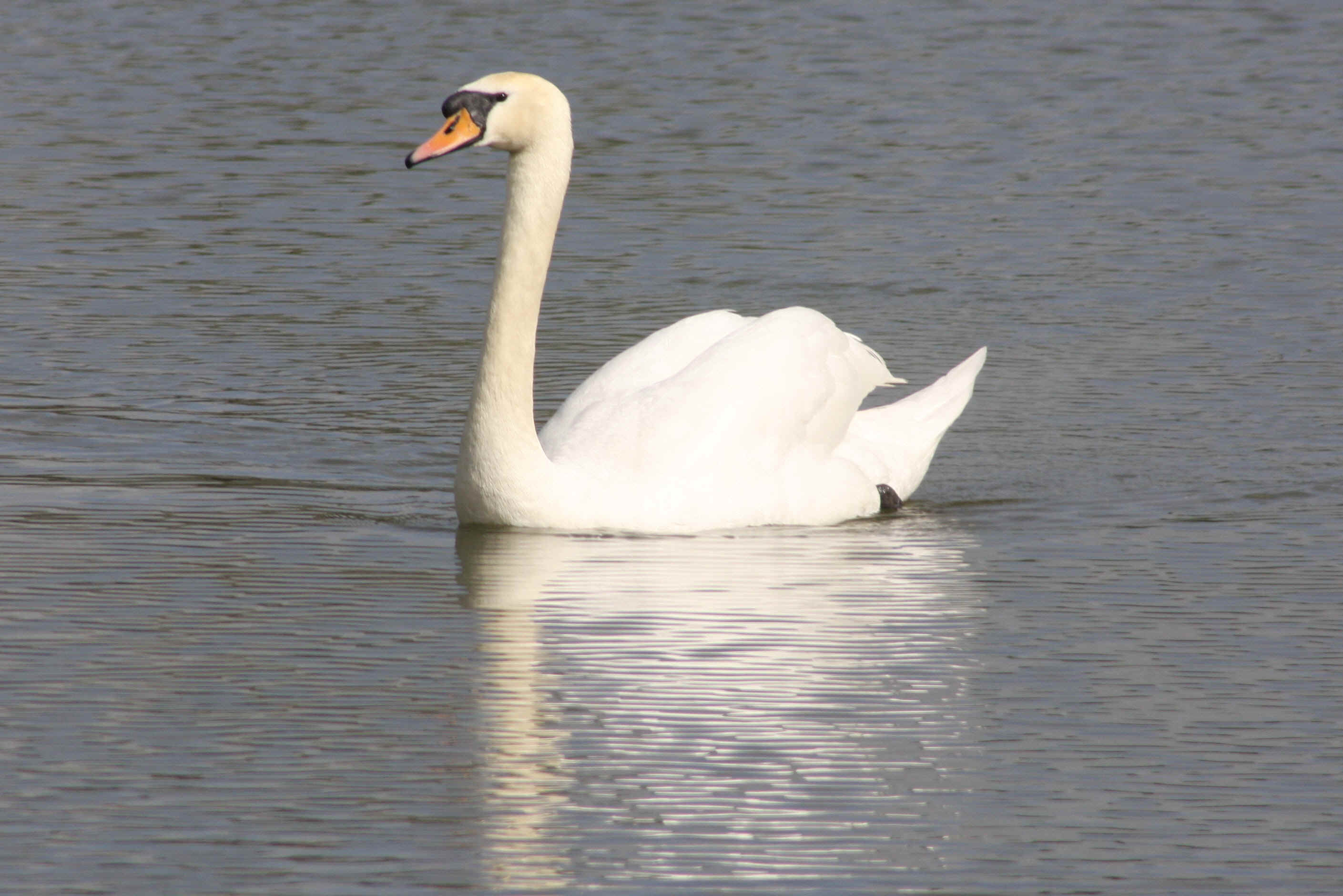 Swan - experiment with the long lens