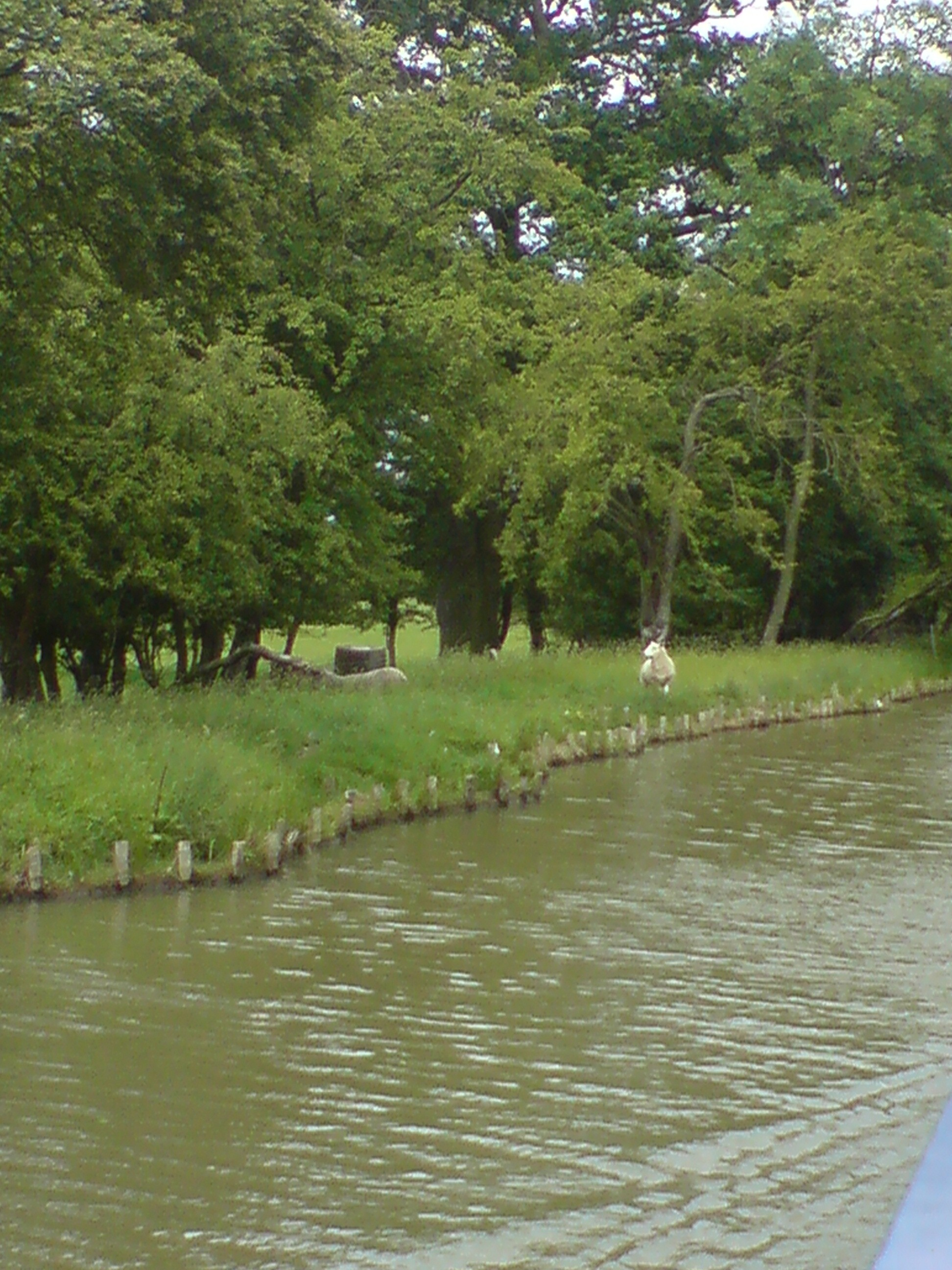 The grass is always greener - sheep peering over to the towpath side....
