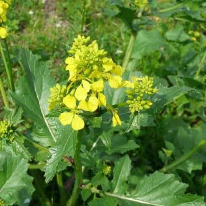 mustard-mostaza
