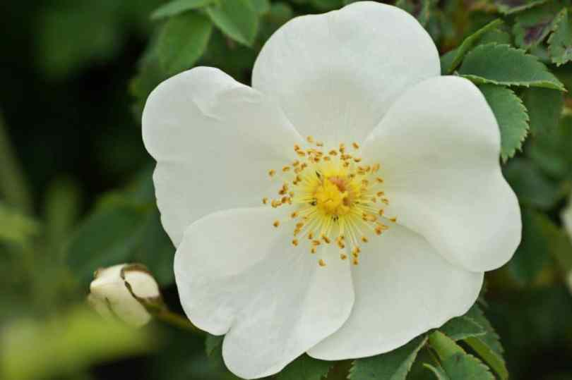 wild-rose4