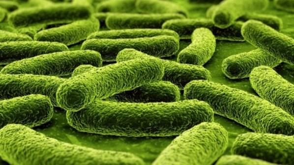 Lactobacilus rhamnosus