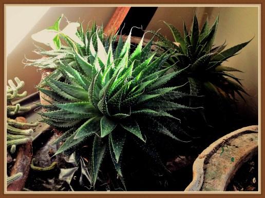 succulent-3b