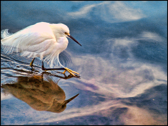 Egret stalking, Lake Merritt