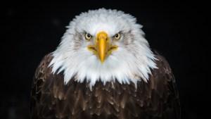 Bald eagle photo by Patrick Brinksma on Unsplash
