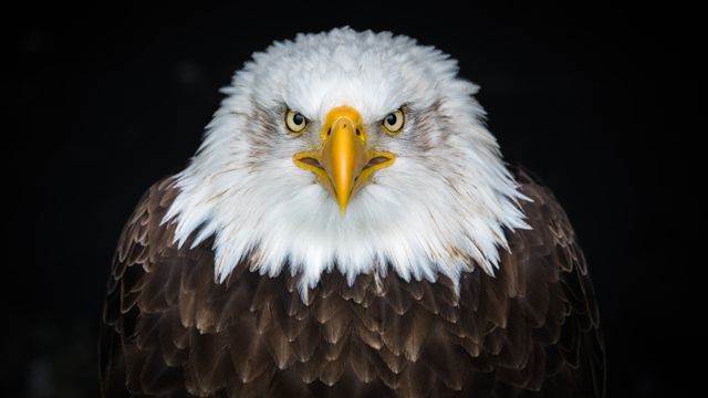 Bald eagle photo by Patrick Brinksma on Unsplash