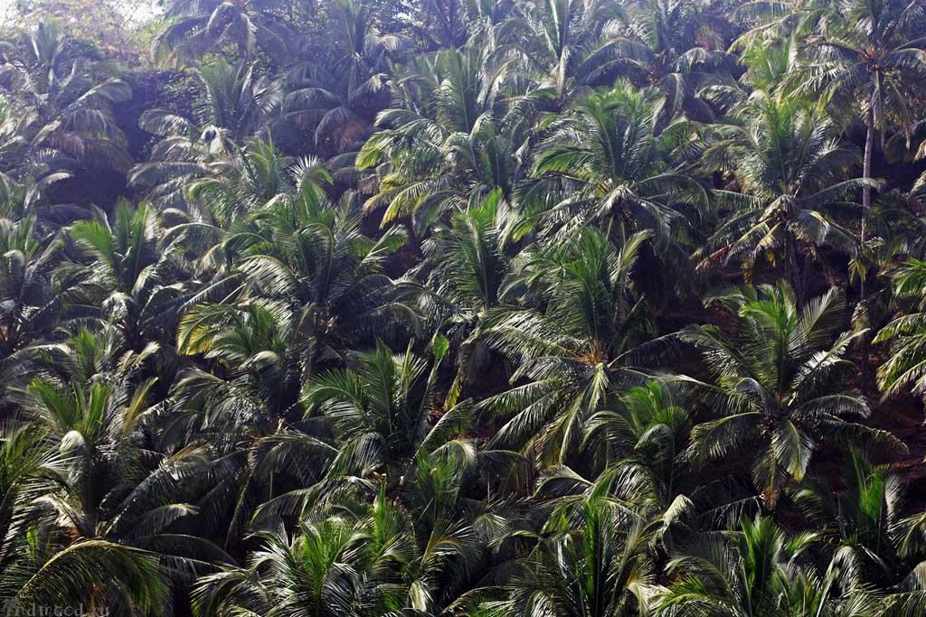 пальмы гоа