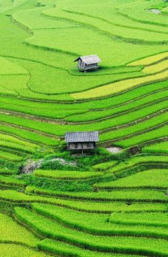 Lush and green rice terraces