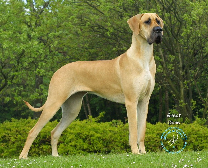puppy great dane dog breed dog breed coloring pages brown great dane