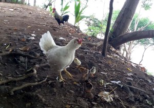 chickens in lombok