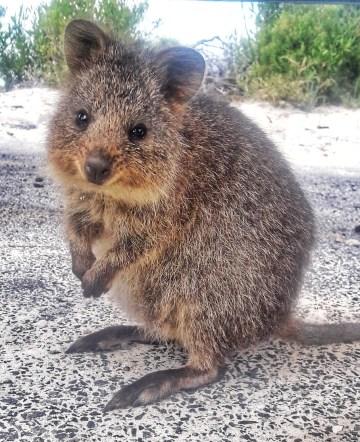 Australia Rottnest island il quokka