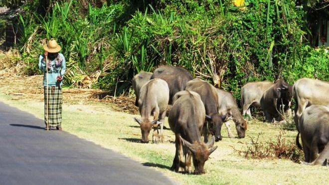 contadino con bufali