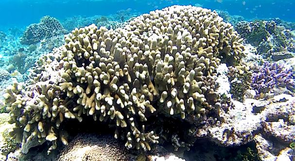 Indonesia coralli di alor