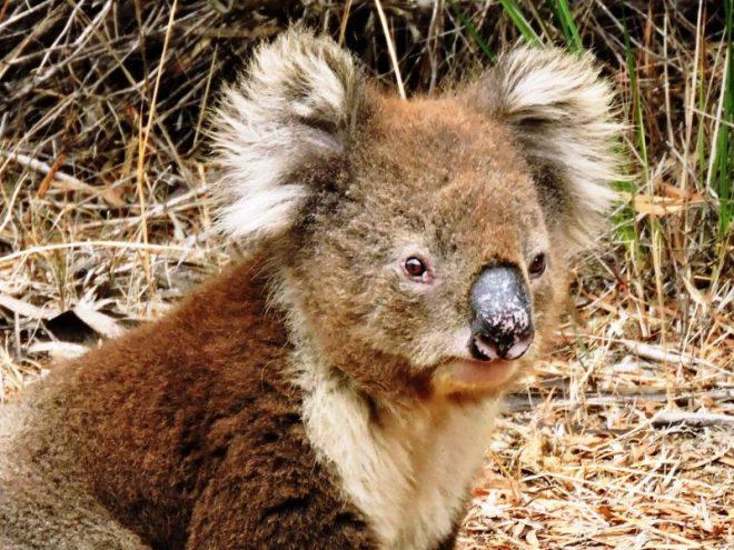 australia koala primo piano