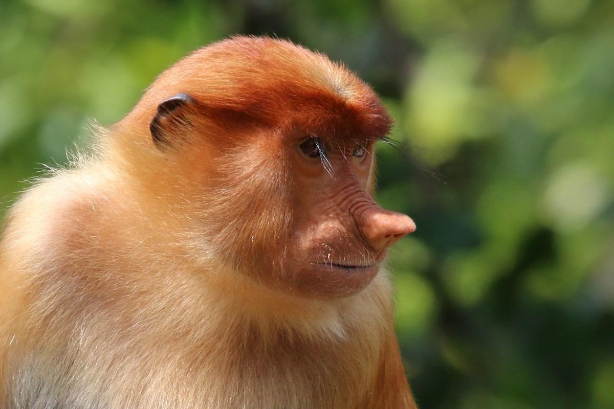 Kalimantan scimmia nasica