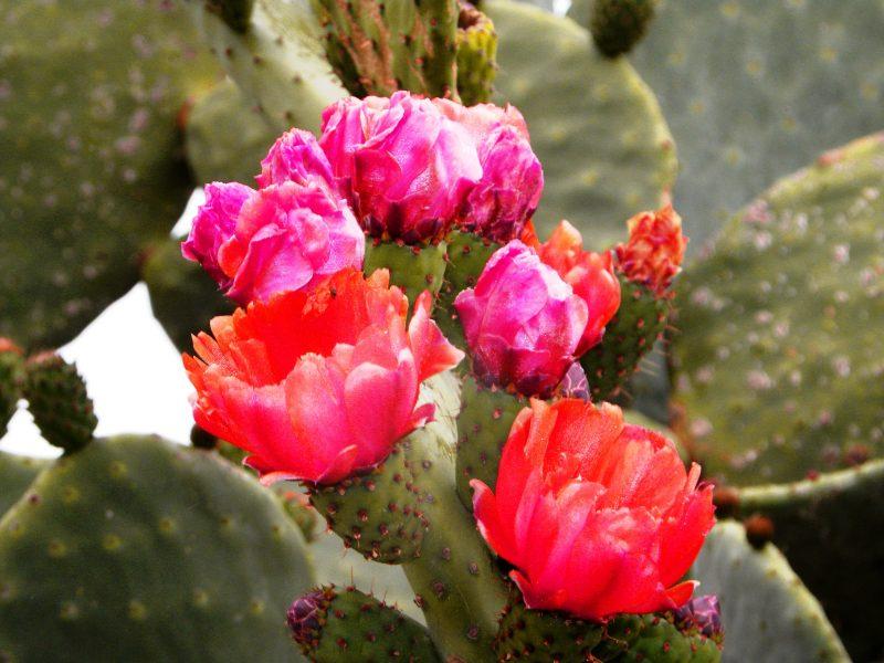 gozo fiori di fico