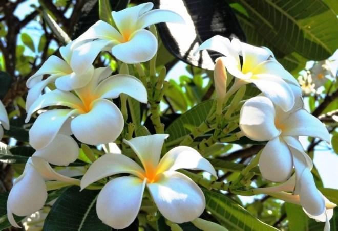 Bali frangipani il profumo dell'isola