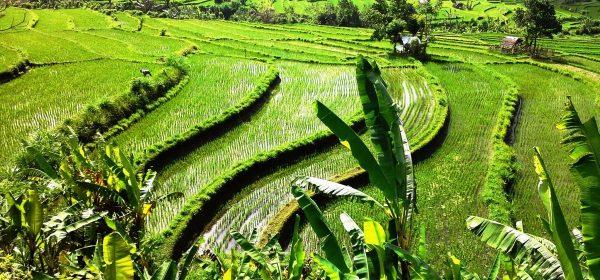 15 meraviglie indonesiane bali jatiluwih
