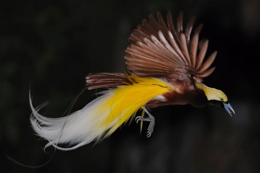 Irian Jaya uccello del paradiso