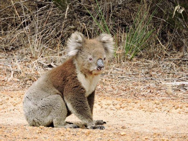koala nella strada