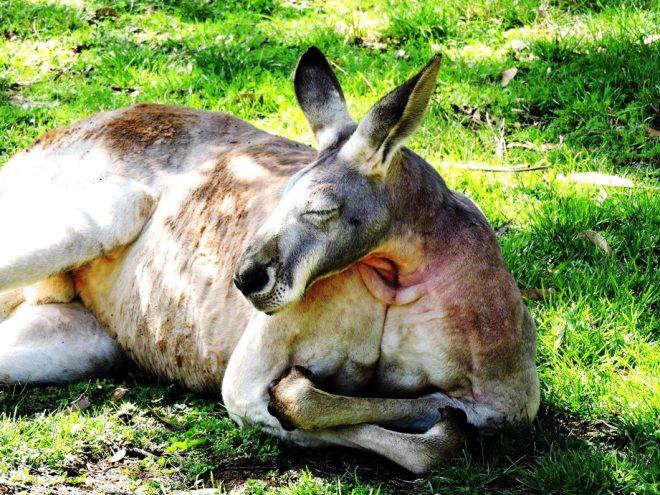 Australia canguro adulto
