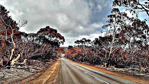 kangaroo cenere e alberi bruciati