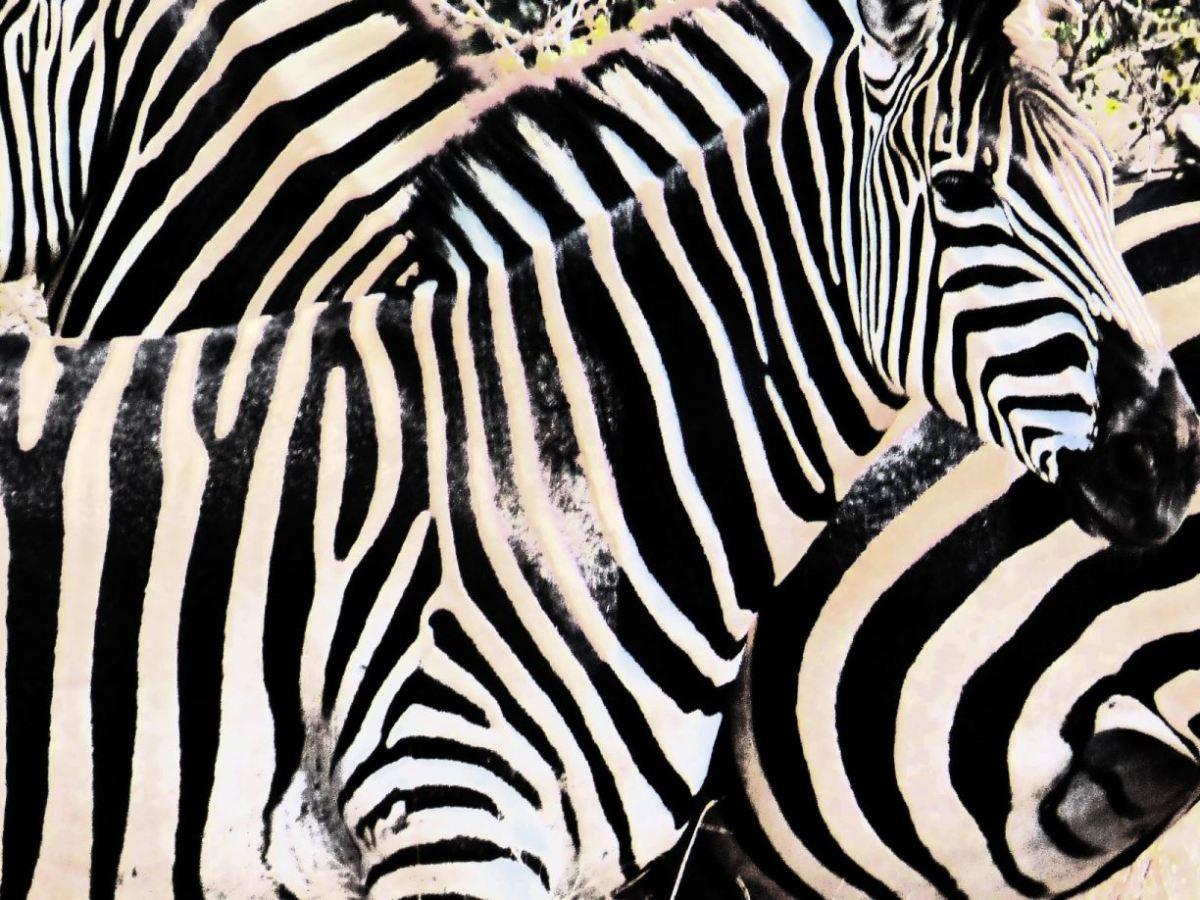 Sud Africa Zebre-Kruger N.P.