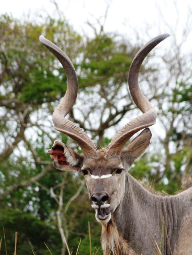 Kudu-Isimangaliso W.P.