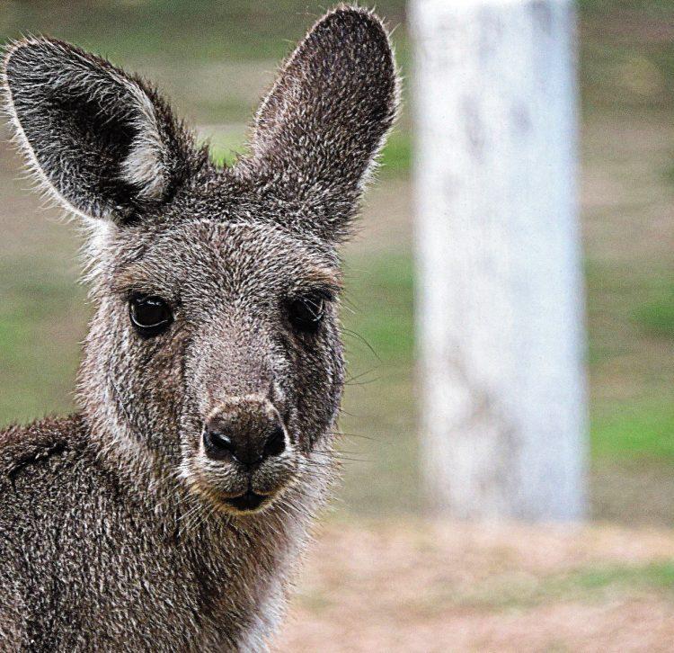 animali australiani canguro
