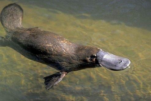 animali australiani ornitorinco