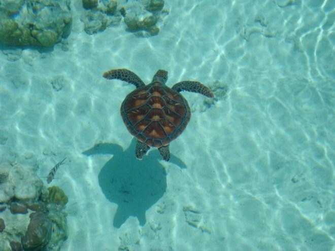 Tartaruga nella laguna