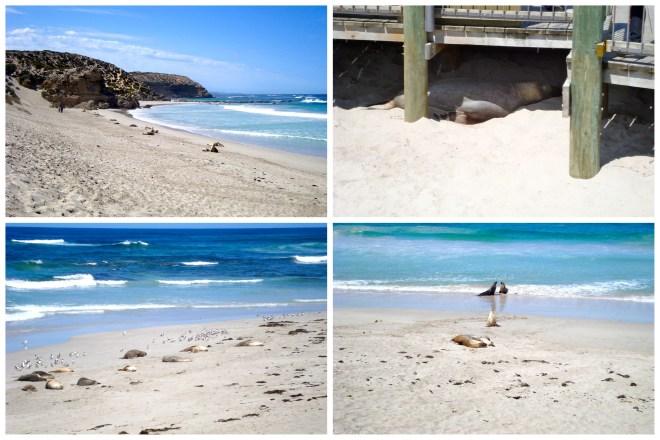 Australia Wild e Outback Kangaroo island Seal Bay